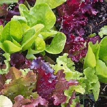 Sydney's Looseleaf Lettuce