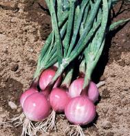 onions-bulb