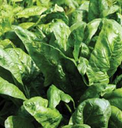 Bolero Spinach