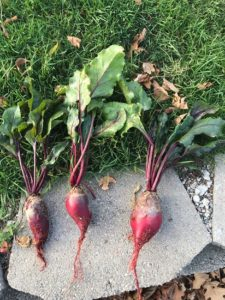 three beautiful Cylindra beets