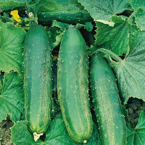 Cucumber, Bush