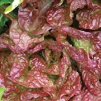 cimarron deep red romaine lettuce